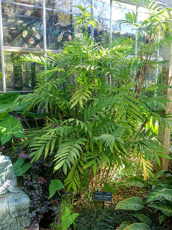 Clustering Hardy Bamboo Palm Chamaedorea Microspadix Urban Palms