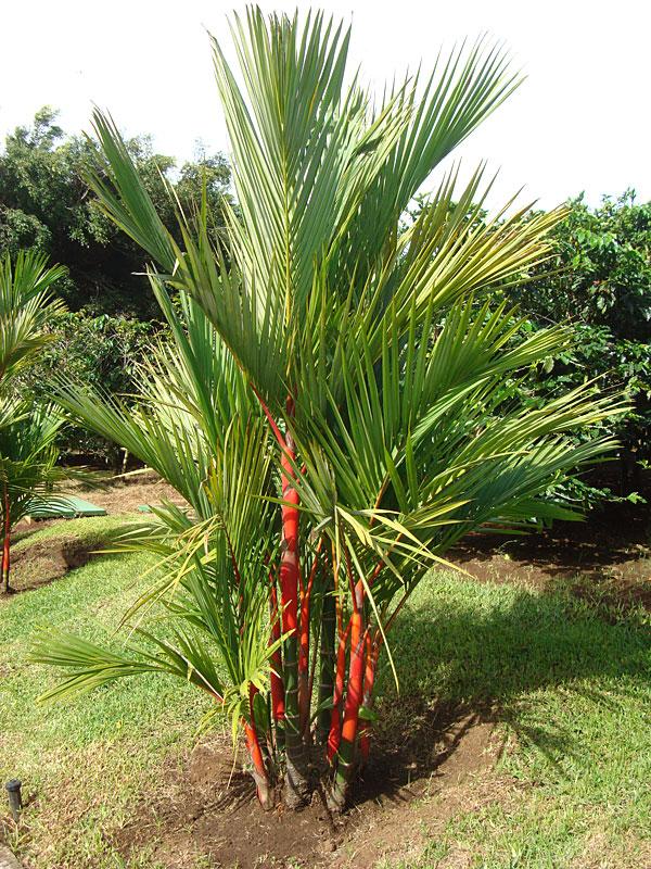 Xl Red Lipstick Palm Tree  Clustering Cyrtostachys Renda