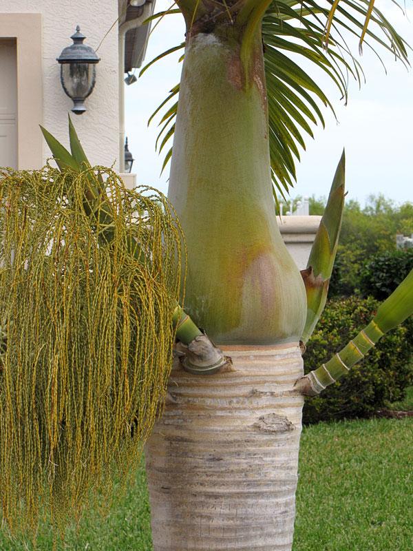 Lg Spindle Palm Tree Hyophorbe Verschaffeltii Urban Palms
