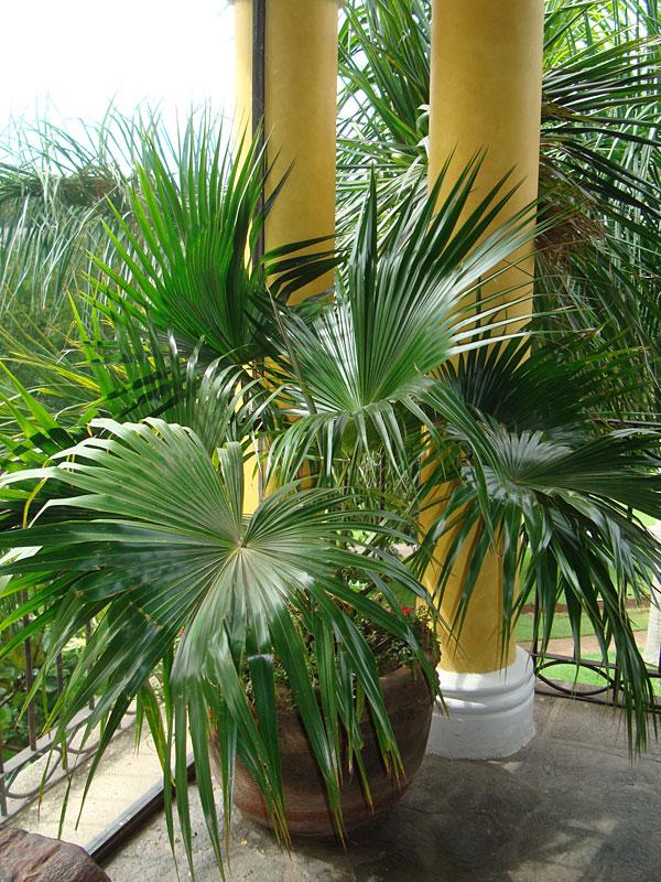 Bamboo In Pots Indoor