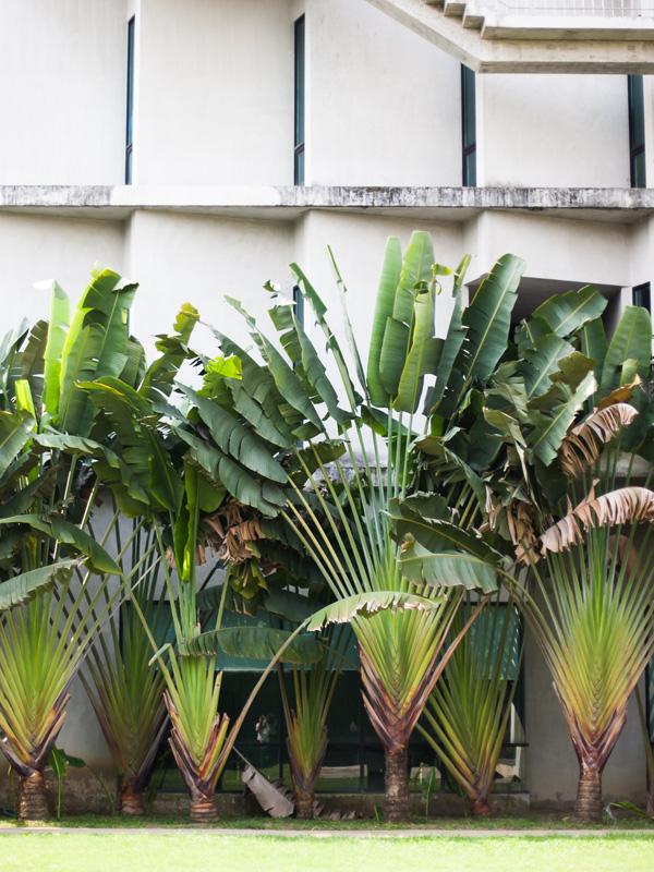 Giant Hawaiian Travelers Palm Tree  Ravenala