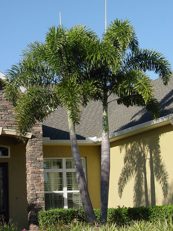Note To Fox News This Is Not Palm Tree >> Foxtail Palm Tree Wodyetia Bifurcata Urban Palms